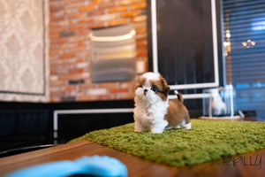 (Purchased by Tomlinson) Mango - Shih Tzu. F - Rolly Teacup Puppies