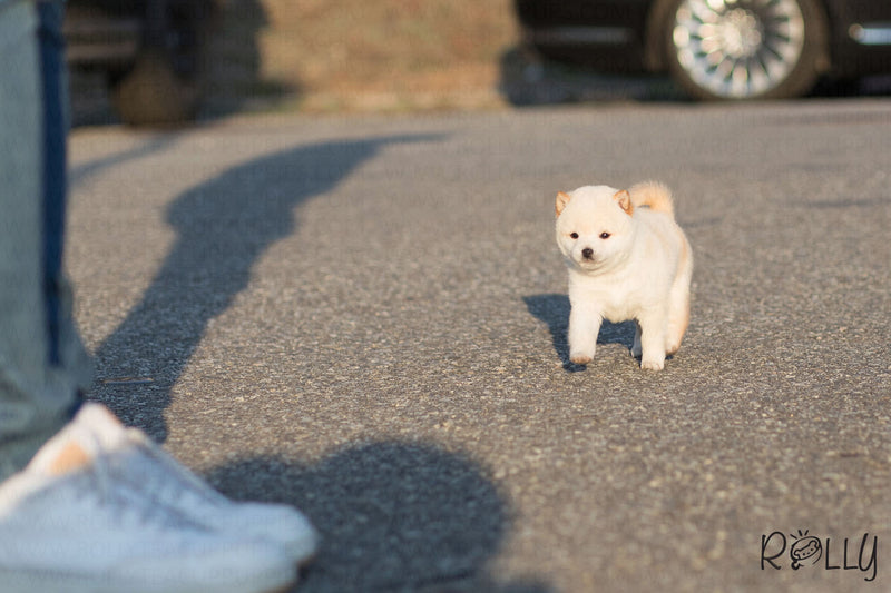 (Reserved by Milan) Mango - Shiba Inu. F - Rolly Teacup Puppies
