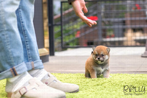 (SOLD to Lin) Mango - Shiba Inu. F - Rolly Teacup Puppies
