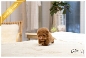 (RESERVED by Alsaud) MAPLE - Poodle. M - ROLLY PUPS INC