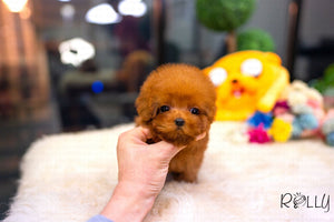 (Purchased by Velasco) Maple - Poodle. M - Rolly Teacup Puppies