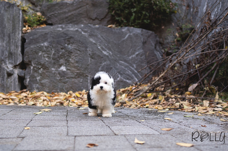 (PURCHASED by Choi) MARBLE - Sheepadoodle. F - Rolly Teacup Puppies - Rolly Pups