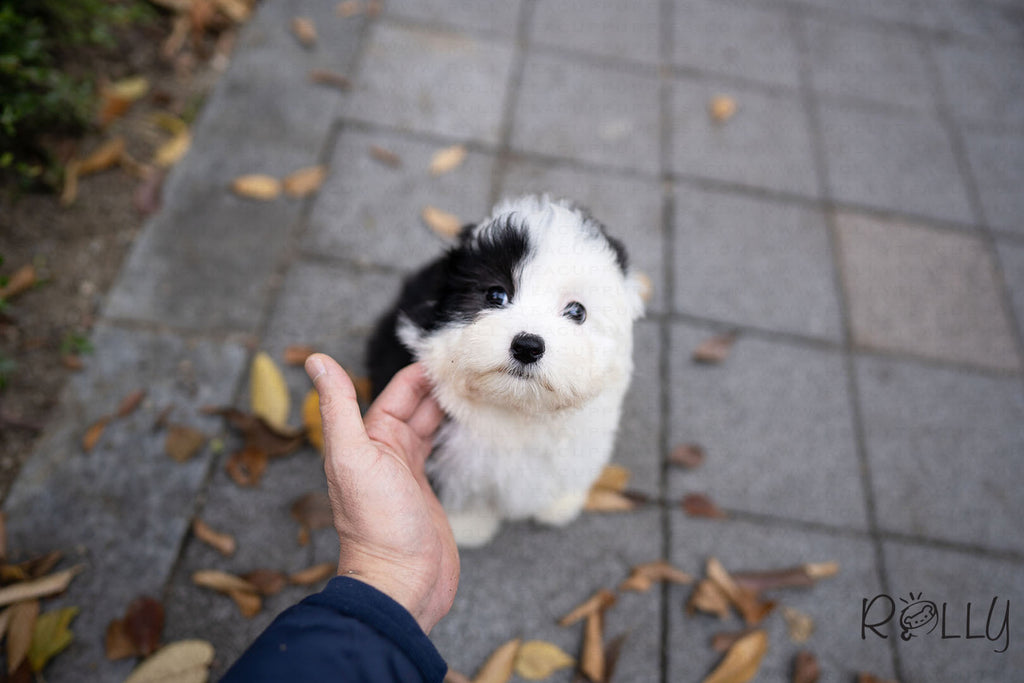 (PURCHASED by Choi) MARBLE - Sheepadoodle. F - ROLLY PUPS INC
