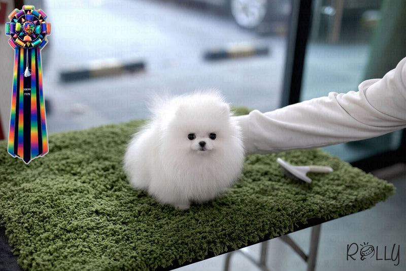(PURCHASED by Tanida) Marble - Pomeranian. M - Rolly Teacup Puppies