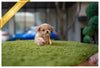 (Purchased by Fonte)  MARS - Maltipoo. M - ROLLY PUPS INC
