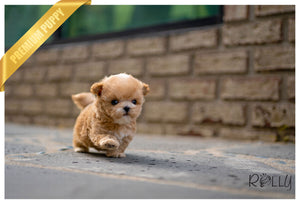 (Purchased by Fonte)  MARS - Maltipoo. M - Rolly Teacup Puppies
