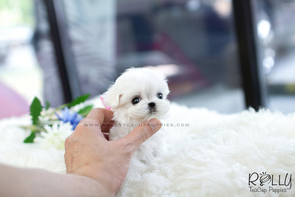 (Reserved to Chronis) Marshmallow - Maltese. M