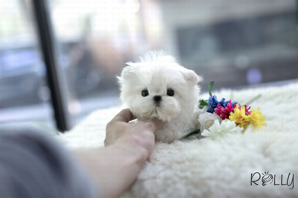 (Reserved by Tu) Maru - Maltese. M - Rolly Teacup Puppies