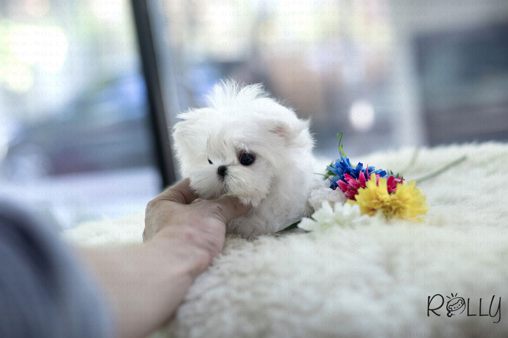 (Purchased by Tu) Maru - Maltese. M - Rolly Teacup Puppies - Rolly Pups