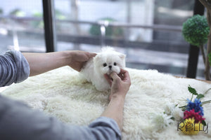 (Purchased by Tu) Maru - Maltese. M - Rolly Teacup Puppies