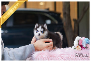 (Purchased by Zhang) Maui - Pomsky. F - Rolly Teacup Puppies