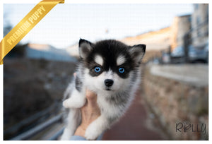 (PURCHASED by Armenta)Maui - Pomsky. F - Rolly Teacup Puppies - Rolly Pups
