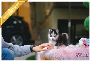 (Purchased by Zhang) Maui - Pomsky. F - Rolly Teacup Puppies - Rolly Pups