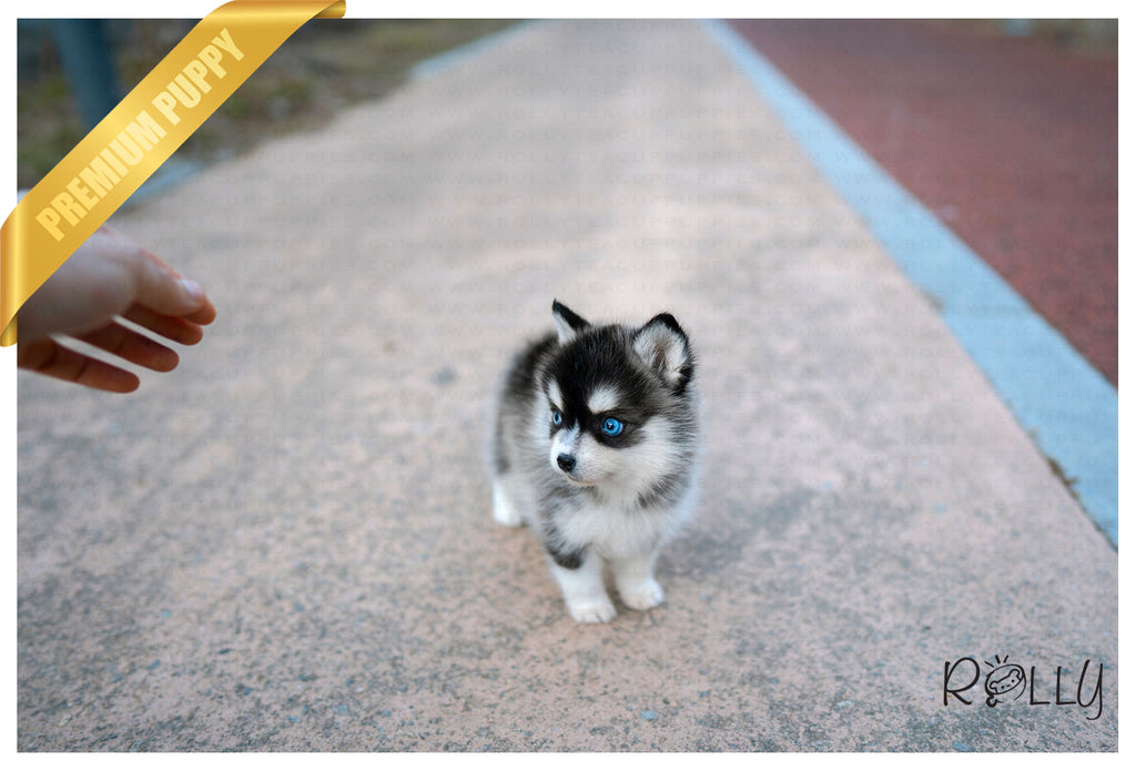 (Reserved by Armenta)Maui - Pomsky. F - Rolly Teacup Puppies