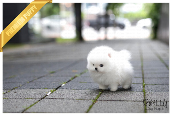 (SOLD to Giselle) Mayo - Pomeranian. M - Rolly Teacup Puppies
