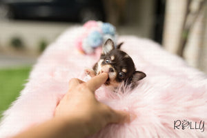 (Purchased by Levy) Mia - Chihuahua. F - Rolly Teacup Puppies