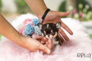 (Purchased by Levy) Mia - Chihuahua. F - Rolly Teacup Puppies - Rolly Pups