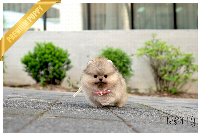 (Purchased by Castellenos) MIA - Pomeranian. F - Rolly Teacup Puppies - Rolly Pups