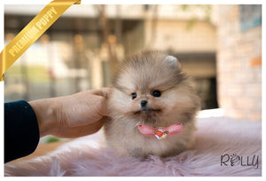 (RESERVED BY Castellenos) MIA - Pomeranian. F - Rolly Teacup Puppies