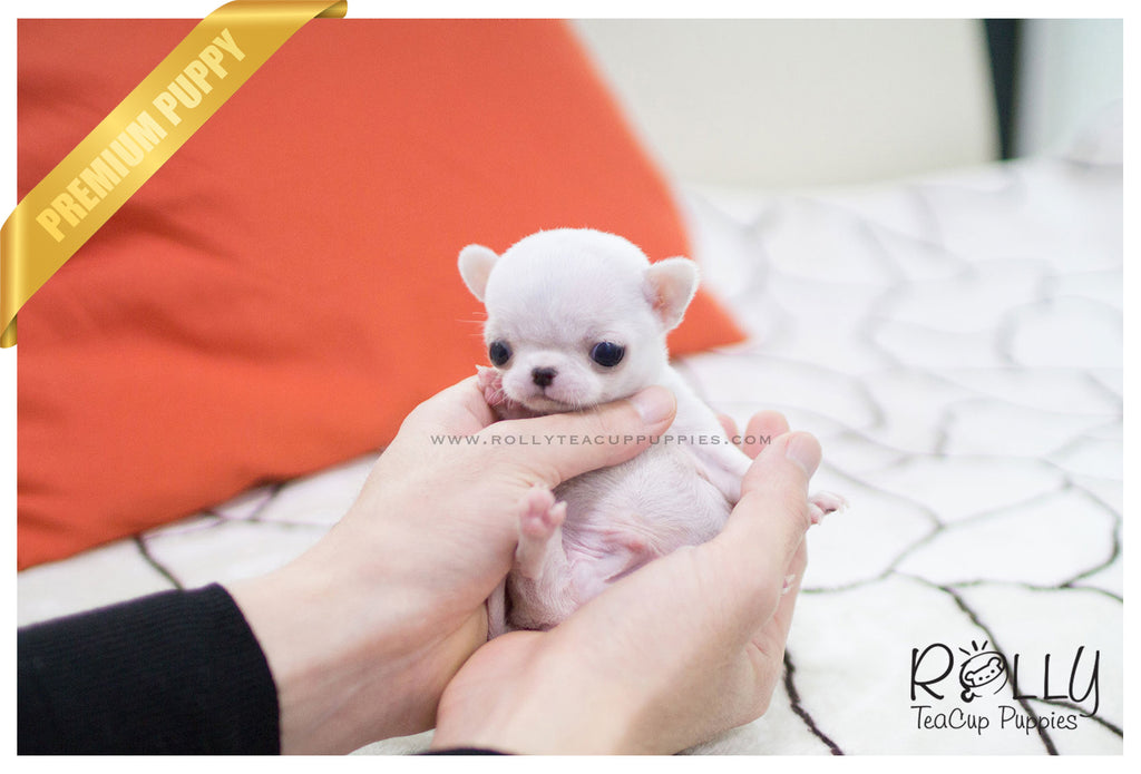 (SOLD to Hammond) Mickey - Chihuahua. M - ROLLY PUPS INC