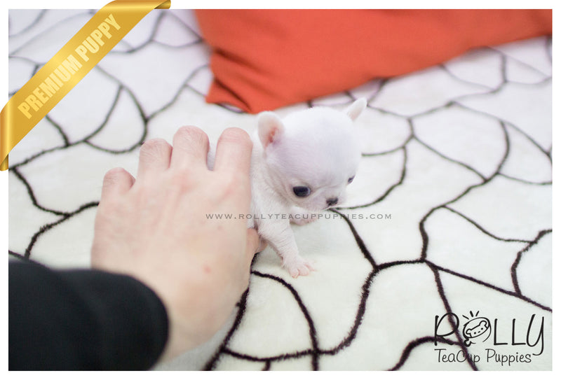 (SOLD to Hammond) Mickey - Chihuahua. M - Rolly Teacup Puppies