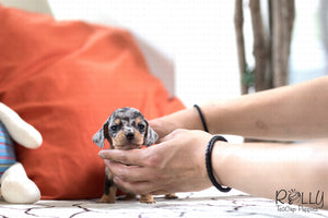 (SOLD to Fragomele) Mickey - Dachshund. M - Rolly Teacup Puppies