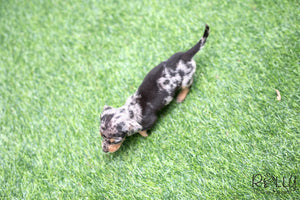 (SOLD to Fragomele) Mickey - Dachshund. M - Rolly Teacup Puppies - Rolly Pups