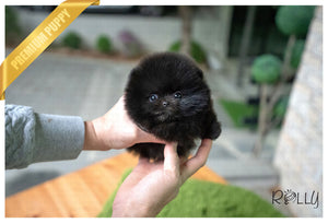 (Purchased by Marceau) MIDNIGHT - Pomeranian. F - Rolly Teacup Puppies
