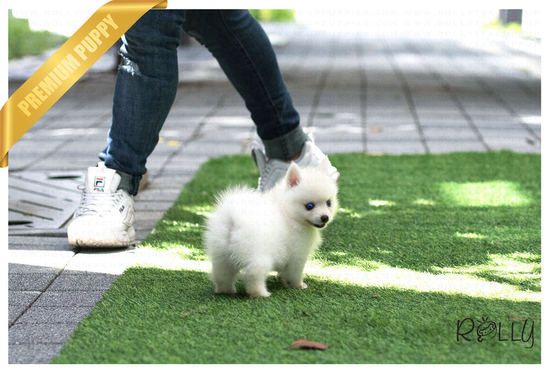 (Reserved by Werninghaus) Miley - Pomsky. F - Rolly Teacup Puppies