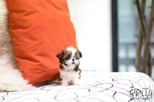 (SOLD to Hernandez) Miley - Shih Tzu. F - Rolly Teacup Puppies
