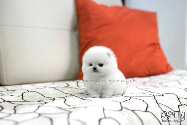 (SOLD to Ferreira) Milky - Pomeranian. F - Rolly Teacup Puppies