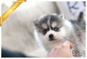 (Purchased by Ghandour) Mille - Pomsky. F - Rolly Teacup Puppies - Rolly Pups