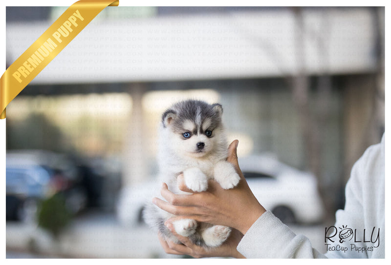 (Purchased by Ghandour) Mille - Pomsky. F - Rolly Teacup Puppies