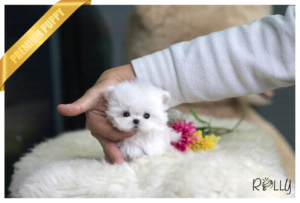 (Purchased by Li) Milo - Maltese. M - Rolly Teacup Puppies - Rolly Pups