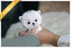 (Purchased by Li) Milo - Maltese. M - Rolly Teacup Puppies