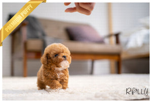 (PURCHASED by Tajik) MILO - Poodle. M - Rolly Teacup Puppies - Rolly Pups