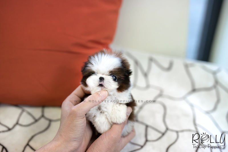 (SOLD to Valenzuela) Milo - Shih Tzu. M - Rolly Teacup Puppies - Rolly Pups