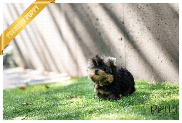 (SOLD to Kaufman) Milo - Yorkie. M - Rolly Teacup Puppies