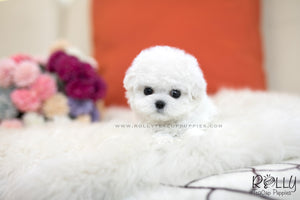 (SOLD to Kelly) Mimi - Bichon Frise. F - Rolly Teacup Puppies
