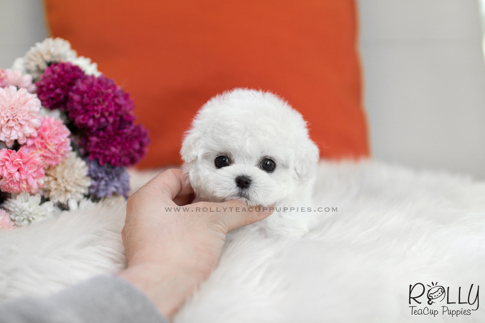 Sold To Kelly Mimi Bichon Frise F Rolly Pups Inc