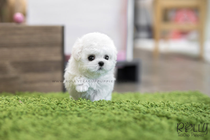 (SOLD to Kelly) Mimi - Bichon Frise. F - Rolly Teacup Puppies - Rolly Pups