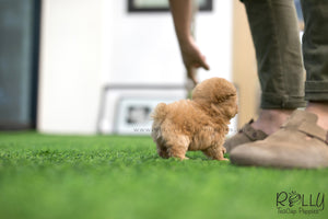 (SOLD to Painter) Mimi - Poodle. F - Rolly Teacup Puppies