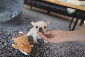 (PURCHASED by Crossman) MINNIE - French Bulldog. F - Rolly Teacup Puppies - Rolly Pups