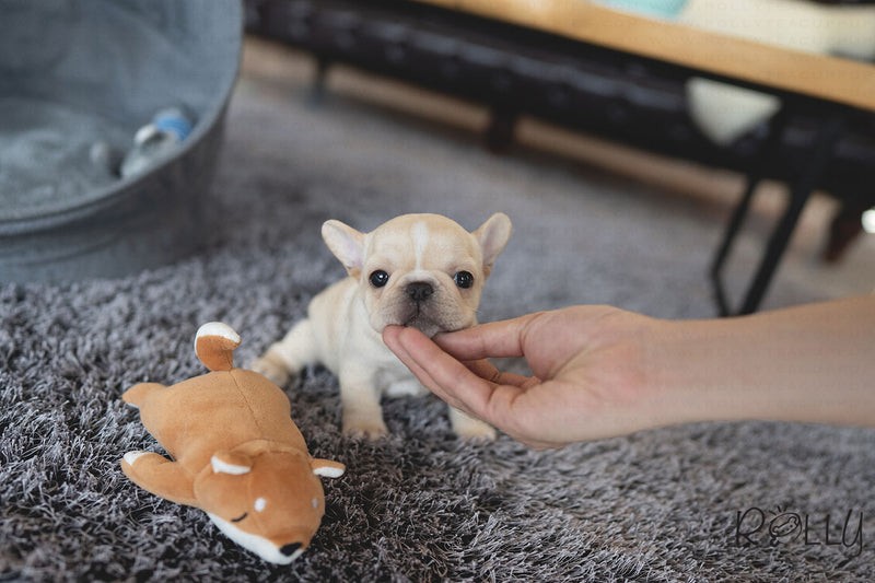 (RESERVED by Crossman) MINNIE - French Bulldog. F - Rolly Teacup Puppies - Rolly Pups