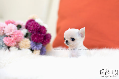 (SOLD to Davis) Mint - Chihuahua. F