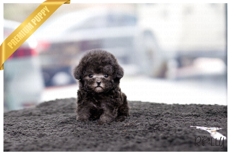 (Purchased by Yu) Misty - Poodle. F - Rolly Teacup Puppies