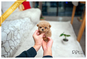 (Purchased by La) Moby - Poodle. M - Rolly Teacup Puppies