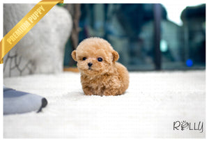 (Purchased by La) Moby - Poodle. M - Rolly Teacup Puppies - Rolly Pups