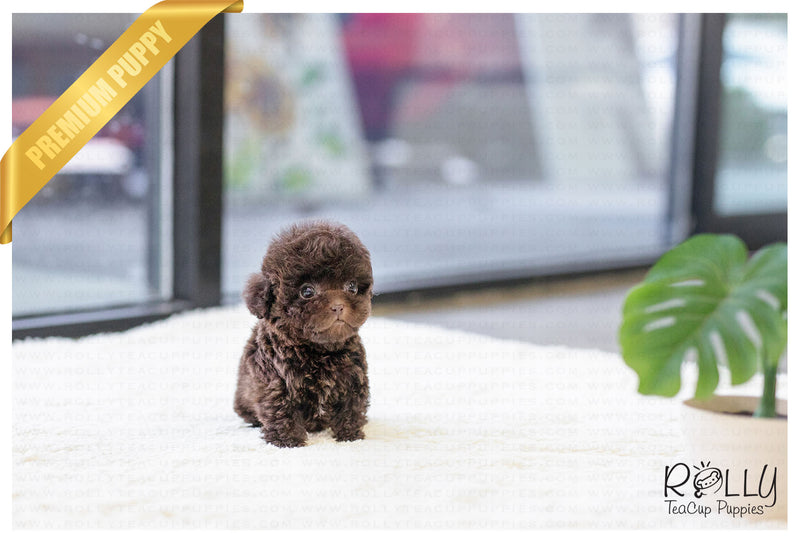 (Purchased by Santa) Mocha - Poodle. M - Rolly Teacup Puppies