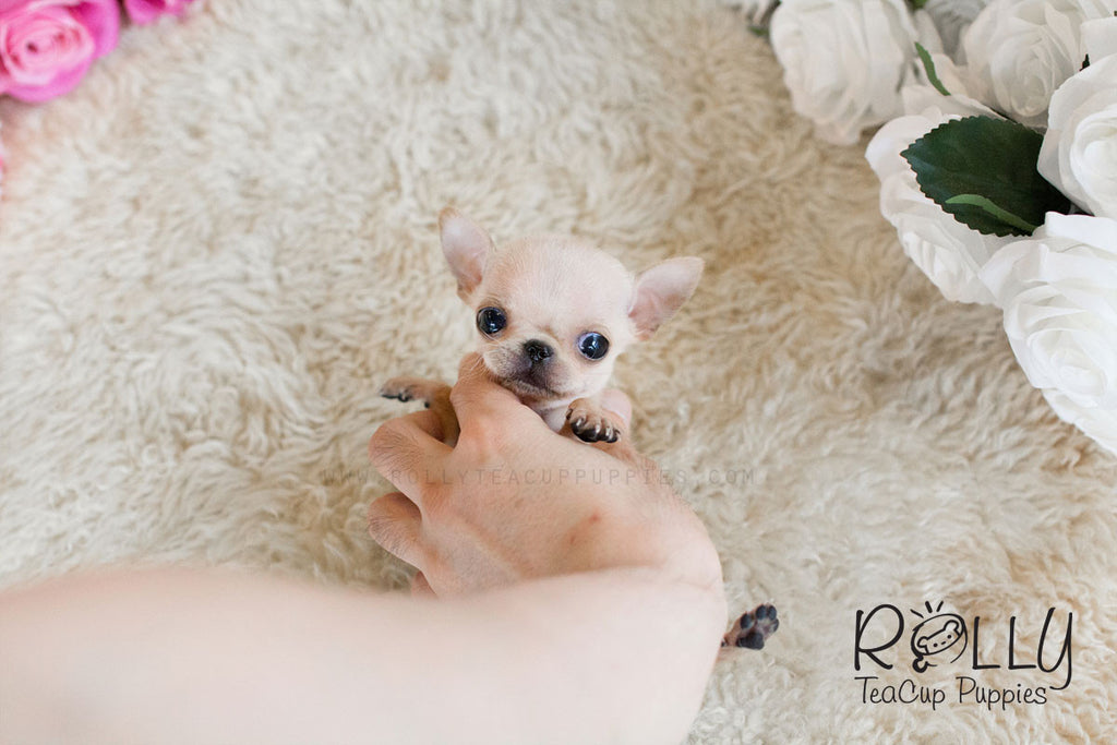 Coco - Chihuahua - Rolly Teacup Puppies - Rolly Pups